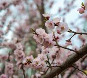 Pommier de floraison ; belles fleurs blanches, champ peu profond Photographie stock