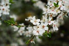 Pommier de floraison, brindille en fleurs et le début des feuilles vertes, ressort dans le jardin photo stock