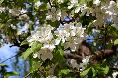Pommier de floraison dans la journée de printemps ensoleillée Belles fleurs blanches images stock
