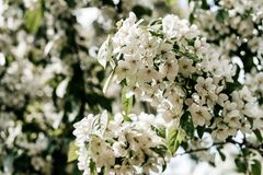 Pommier de floraison - fleurs d'Apple de photo photos libres de droits