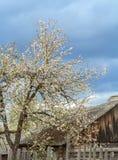 Pommier de floraison près de vieille ferme Image stock