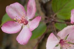 Pommier de floraison rose dans le Midwest photos stock