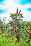 Pommier de Gloster avec des pommes après pluie Images stock