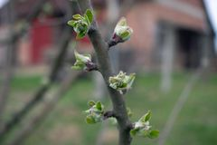 Pommier de Joung au printemps image libre de droits