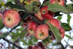 Pommier de taille moyenne en automne Image libre de droits
