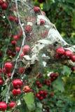 Pommier en automne avec le nid de Caterpillar Photos stock