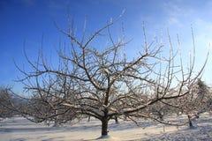 Pommier figé avec de la glace Photos stock