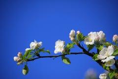 Pommier fleurissant Images libres de droits