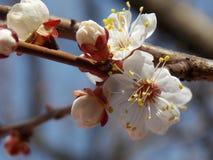 Pommier fleurissant image libre de droits