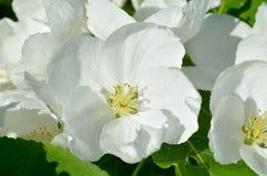 Pommier fleurissant au printemps Image stock