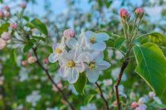 Pommier fleurissant dans le jardin Ressort Fond image stock