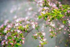 Pommier fleurissant dans le rose photographie stock