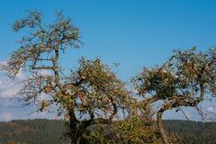 Pommier inextricable avec des pommes avant récolte en automne photographie stock libre de droits
