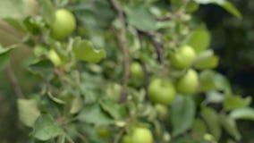 Pommier organique Fortement chargé avec non mûr Fruit vert Élevage dans un verger privé clips vidéos