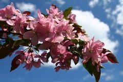 Pommiers de floraison Photographie stock libre de droits