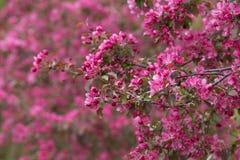 Pommiers de floraison 01 Photo libre de droits