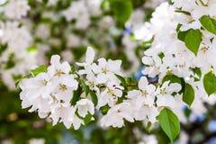 Pommiers de floraison de ressort dans le jour ensoleillé Photographie stock libre de droits