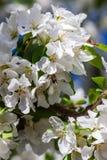Pommiers de floraison de ressort dans le jour ensoleillé Photographie stock