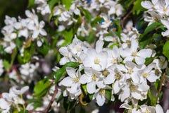 Pommiers de floraison de ressort dans le jour ensoleillé Image stock