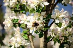 Pommiers en fleur Images libres de droits