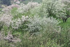 Pommiers fleuris Nature dans Tekeli image stock
