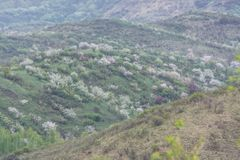 Pommiers fleuris Nature dans Tekeli images libres de droits