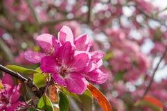 Pommiers ornementaux fleurissants de ressort Apple sauvage Nieddzwetzkyana Images stock