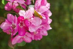 Pommiers ornementaux fleurissants de ressort Apple sauvage Nieddzwetzkyana Photographie stock libre de droits