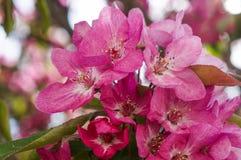 Pommiers ornementaux fleurissants de ressort Apple sauvage Nieddzwetzkyana Images libres de droits