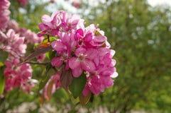 Pommiers ornementaux fleurissants de ressort Apple sauvage Nieddzwetzkyana Image stock