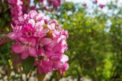 Pommiers ornementaux fleurissants de ressort Apple sauvage Nieddzwetzkyana Photos libres de droits