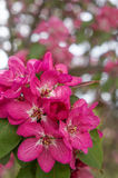 Pommiers ornementaux fleurissants de ressort Apple sauvage Nieddzwetzkyana Photos stock