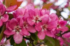 Pommiers ornementaux fleurissants de ressort Apple sauvage Nieddzwetzkyana Image libre de droits
