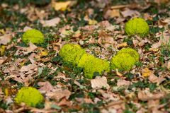 Pomo de Adão da grama e das folhas. Fotografia de Stock