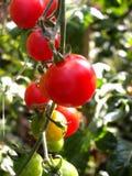 Pomodori 10 Fotografie Stock