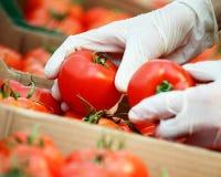 Pomodori Fotografia Stock Libera da Diritti