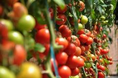 Pomodori Immagine Stock Libera da Diritti