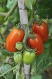 Pomodori Fotos de archivo