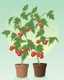 Pomodori Illustrazione Vettoriale