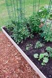 Pomodori alzati del giardino fotografia stock
