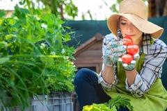 Pomodori appena raccolti odoranti del bello giovane agricoltore di piccola impresa nel suo giardino Bio- concetto nostrano dei pr Fotografia Stock Libera da Diritti