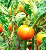 Pomodori arancio che maturano Fotografie Stock Libere da Diritti