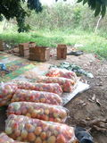 Pomodori in borse Immagini Stock