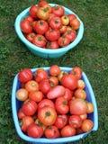 Pomodori, casalinghi Immagini Stock