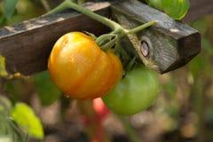 Pomodori che crescono nell'orto, agricoltura biologica immagine stock libera da diritti