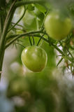 Pomodori che crescono - primo piano Immagini Stock Libere da Diritti