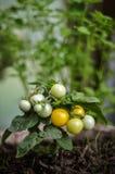 Pomodori che crescono - primo piano Fotografia Stock Libera da Diritti