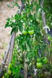 Pomodori che crescono in un piccolo giardino Fotografia Stock