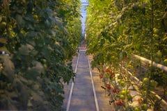 Pomodori che crescono in una serra Immagini Stock