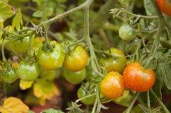 Pomodori che maturano nel giardino fotografia stock libera da diritti